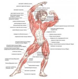 поговорим о мышцах